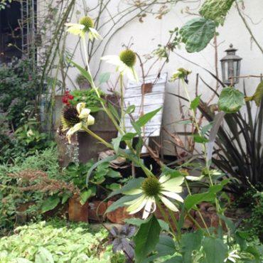 エキナセア-echinacea-